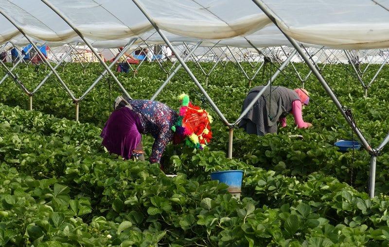 Temporeras trabajando en los campos de fresa de Huelva