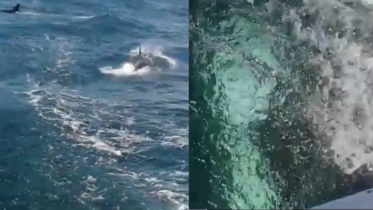 Ataque de orcas al barco Mirfak.